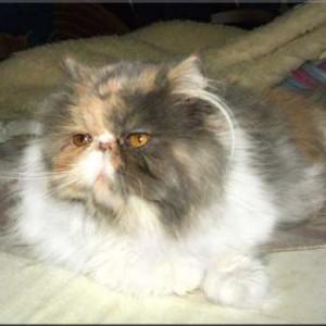 Holly Dumka*Pl koteczka perska szylkret niebieski