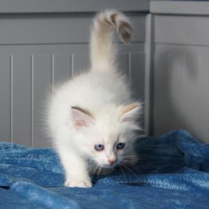 SIMBA DUMKA*PL neva masquerade, kocięta, kotki, syberyjskie, z rodowodem, na sprzedaż, niebieskookie