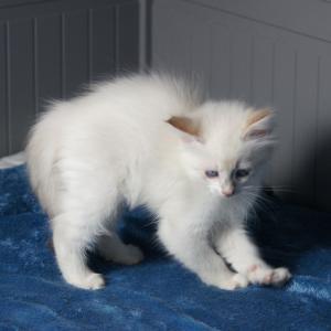 SIMBA DUMKA*PL NEM ny 21 neva masquerade, kocięta, kotki, syberyjskie, z rodowodem, na sprzedaż, niebieskookie