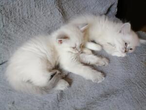 Zotan dumka*Pl kocięta neva masquerade, Kocięta syberyjskie. Hodowla kotów rasowych 796 445 079
