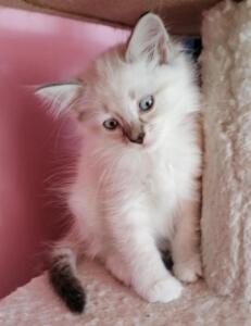 Andy Dumka pl kocięta syberyjskie neva masquerade, kocięta rasowe kocięta z rodowodem, prawdziwy rodowód, kocieta na sprzedaż, koty dla alergików