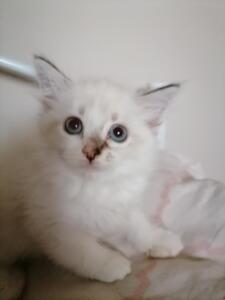 Amber Dumka*pl NEM ny 09 21 kocięta neva masquerade, kocięta syberyjskie, kocięta rasowe, kocięta z rodowodem, kocięta na sprzedaż, prawdziwy rodowód, koty dla alergików