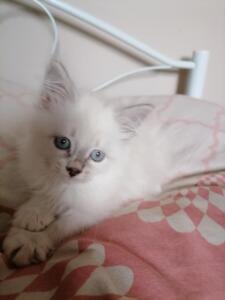 Aria dumka pl koteczka, kocięta syberyjskie, neva masquerade, kocięta z rodowodem, kocięta rasowe, prawdziwy rodowód FIFE