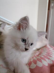 Alfie Dumka pl kocięta syberyjskie neva masquerade, kocięta rasowe kocięta z rodowodem, prawdziwy rodowód, kocieta na sprzedaż, koty dla alergików