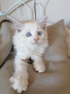 Addie Dumka pl kocięta syberyjskie neva masquerade, kocięta rasowe kocięta z rodowodem, prawdziwy rodowód, kocieta na sprzedaż, koty dla alergików