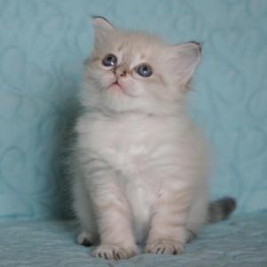 Toska Dumka*pl Kocięta, syberyjskie, neva masquerade, rasowe, z rodowodem, niebieskookie, hodowla kotów, domowa, dla alergików, felinoterapia