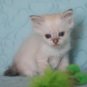 Tadzio Dumka*pl Kocięta, syberyjskie, neva masquerade, rasowe, z rodowodem, niebieskookie, hodowla kotów, domowa, dla alergików, felinoterapia