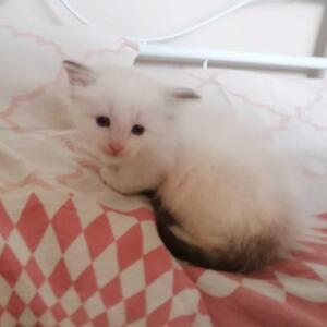Allie Dumka*pl kocięta syberyjskie, kocięta neva masquerade, kocięta z rodowodem, kocięta rodowodowe, koty dla alergików, koteczka