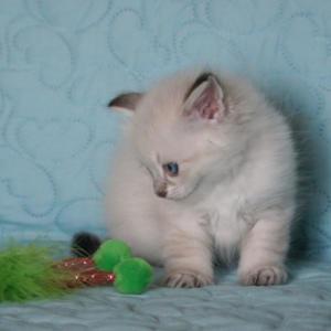 Timon Dumka*pl Kocięta, syberyjskie, neva masquerade, rasowe, z rodowodem, niebieskookie, hodowla kotów, domowa, dla alergików, felinoterapia